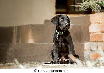 Labrador Puppy by Steps