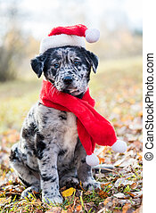 funny Labrador puppy dog in New Year and Christmas