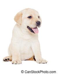 labrador puppy, looks