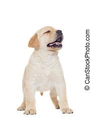 Labrador puppy on a white background
