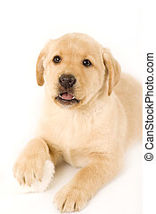 labrador puppy on white background with one of the paws on a...