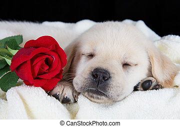 Labrador puppy sleeping on blanket with red rose studio shot