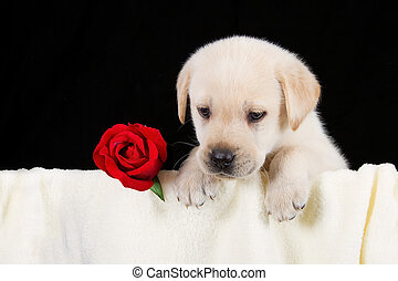 Labrador puppy with red rose in blanket on black background...