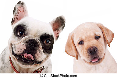 picture of two little puppy dogs - labrador retriever and french bull dog looking at the camera