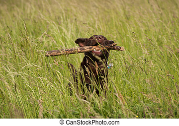Labrador Retriever at retrieving