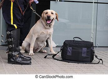 Labrador retriever at work.
