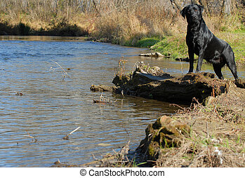 black labrador retriever standing by the shore line or water