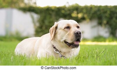 Labrador retriever dog in park