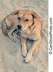 labrador retriever dog lying in sand playground looking at camera