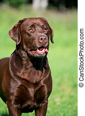 Beauty chocolate labrador retriever on green grass