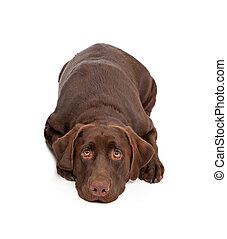 A one year old chocolate color Labrador Retriever dogs laying down with a sad face.
