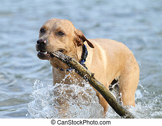Labrador Retriever Dog with stick