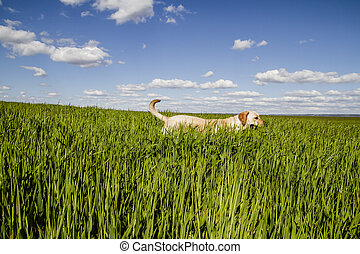 labrador retriever, in, weit veld, en, zomer, vrijheid