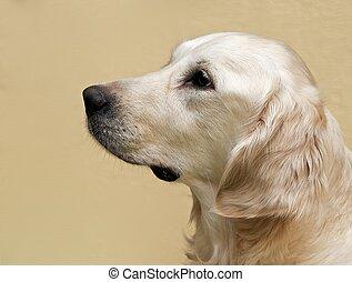 Labrador retriever portrait close