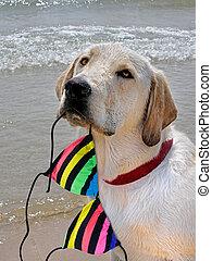 Labrador Retriever - Labrador retriever with a striped...