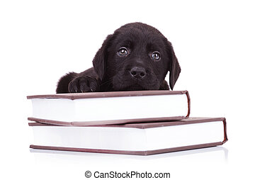 labrador retriever lying down on some books - tired and cute...