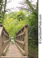 Labrador retriever on the bridge