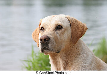 labrador retriever portrait, wet coat