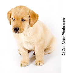 labrador retriever puppy seated on a white background
