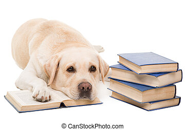 labrador retriever reading books on isolated white - clever...