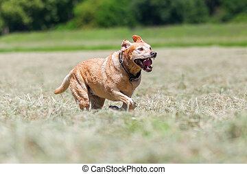 labrador retriever running in a hay field