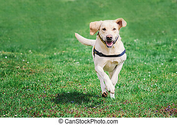 Labrador retriever running on green grass