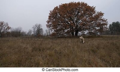 Labrador retriever running through autumn field - Happy...