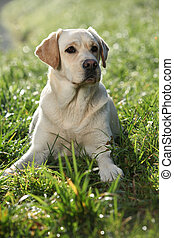 Labrador retriever sitting down in the backlight - Beautiful...