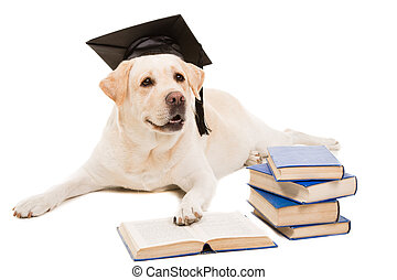 labrador retriever with hat of bachelor reading books on...