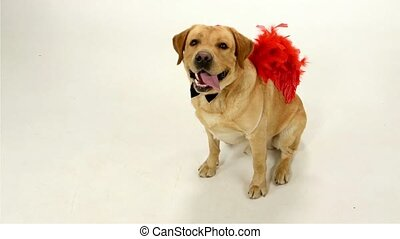 Labrador Retriever with red wingson a white background