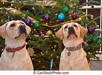 Labrador Retrievers on Christmas - Labrador retrievers at by...