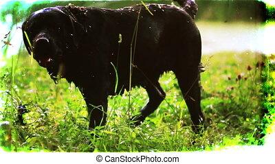 Labrador, shake after a bath. Vintage.