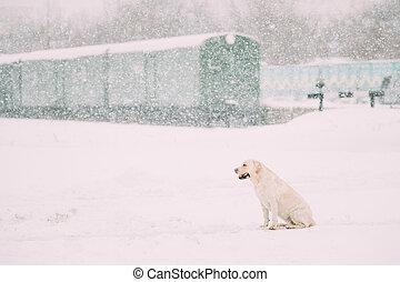 labrador, sitzen, jahreszeit, hund, schnee, weißes, winter
