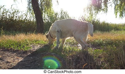 Labrador sniffing something in grass. Scent of dog. Golden...