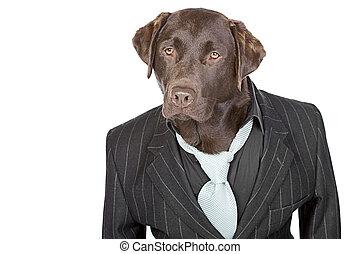 labrador, spelden, tegen, chocolade, streep, achtergrond,...