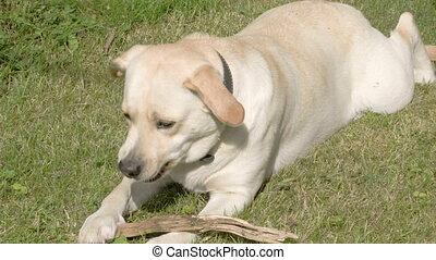 labrador, tounge, chien, sien, jouer, retriever
