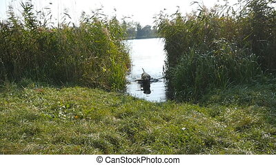 Labrador walking out of river. Dog fetching stick from the...