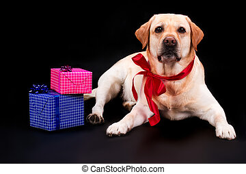 Labrador with bow and gift boxes.