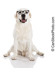 Labrador with glasses