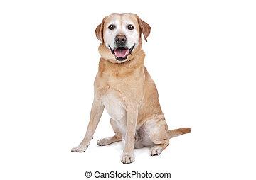 labradorhundapportierhund