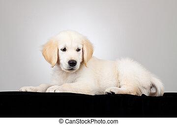 labradorhundapportierhund, junger hund