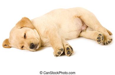 labradorhundapportierhund, junger hund, eingeschlafen