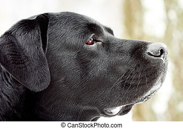 Labrador's head in profile. Close-up, shallow depth of field...