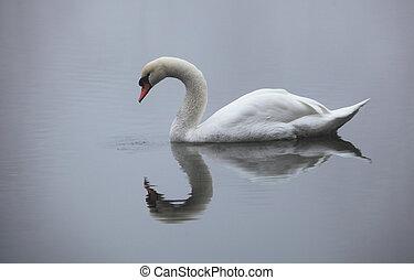 labuť, do, jezero