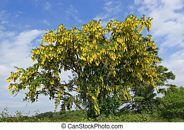 laburnam, árbol