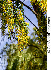 Laburnum tree with vivid yellow flowers against a blue sky
