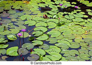 lac, à, lotus, fleurs