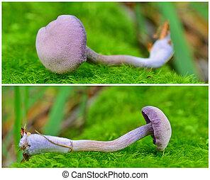 laccaria, amethystina, 버섯