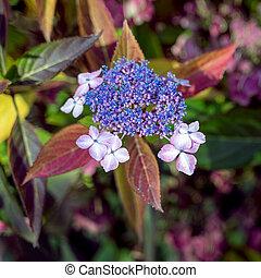 lacecap, hortensia, bleu, fleurir, novembre, encore