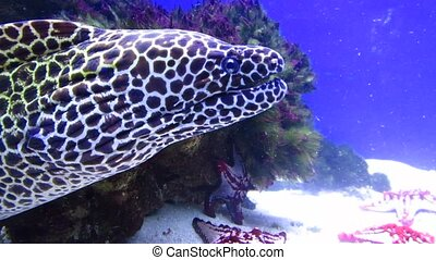 Laced moray, leopard moray (Gymnothorax favagineus), underwater